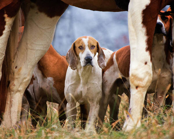 Painted Horses Photograph - Foxhound Framed By Horse Legs by Susan M. Carter