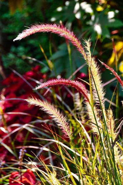Wall Art - Photograph - Foxtail Grass by Linda Brown