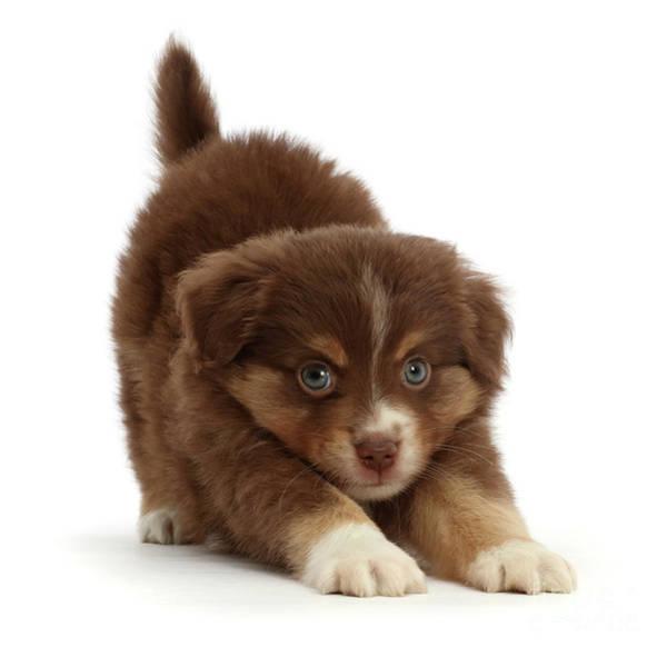 Photograph - Foxy Kitten Puppy by Warren Photographic