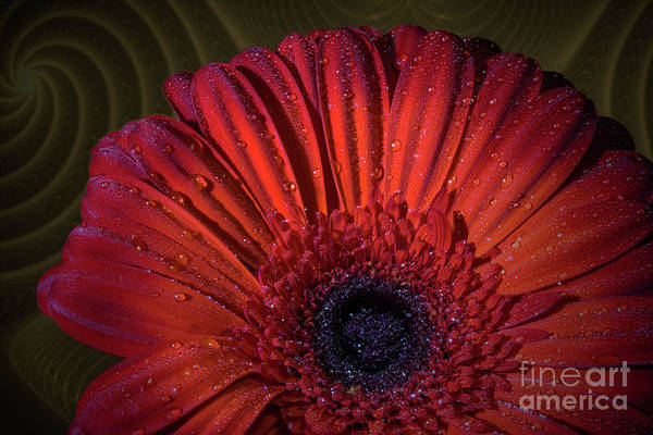 Photograph - Fractal Gerbera by Roger Monahan