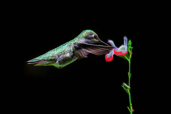 Photograph - Fractal Green Anna Hummingbird by Wes and Dotty Weber