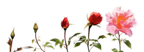 Elegance Photograph - Fragrant Delight Rose by Lorna Wilson