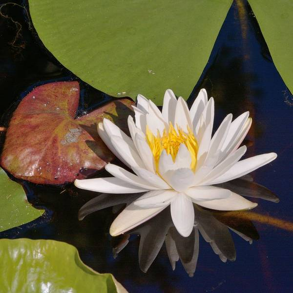 Photograph - Fragrant Water Lily-square by Bradford Martin