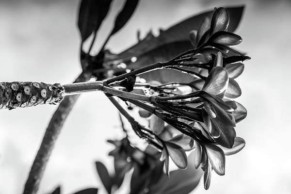 Photograph - Frangipani - Black And White Botanical Gardens by Georgia Fowler