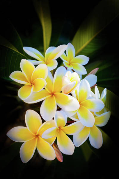 Blossom Photograph - Frangipani by Letty17