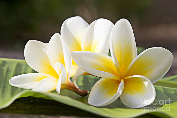 Hawaiian Wall Art - Photograph - Frangipani Tropical Flowers, Plumeria by Worawut2524