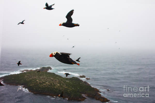 Seabirds Wall Art - Photograph - Fratercula Tufted Puffin, Fratercula by Maksimilian