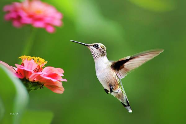 Photograph - Free As A Bird Hummingbird by Christina Rollo