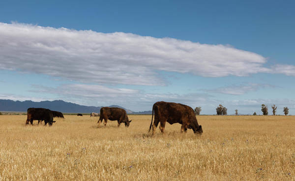 Cow Photograph - Free Range Beef by Dustypixel