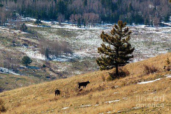 Photograph - Free Range Calves by Steve Krull