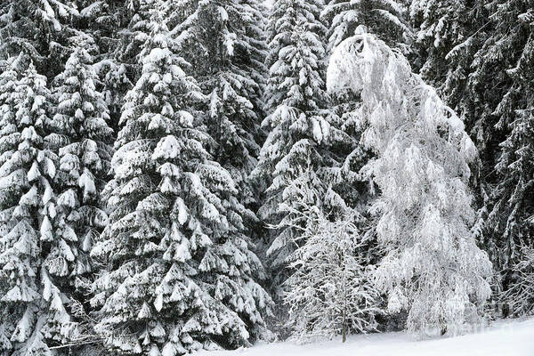 Fallen Tree Photograph - French Alps, Snow Covered Fir Trees In Winter by French School
