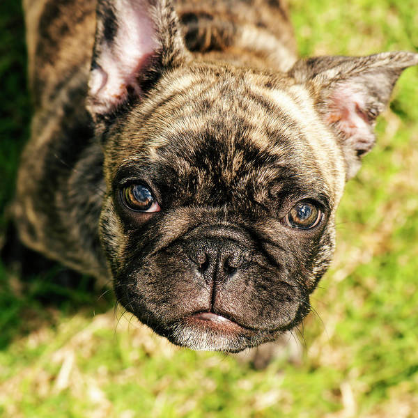 Photograph - French Bull Dog by Rob D Imagery
