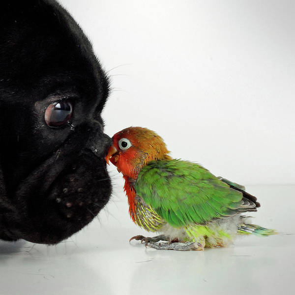 French Bulldog Photograph - French Bulldog And Lovebird by Mascotas Y Varios