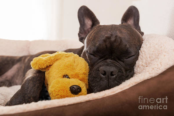 Sick Wall Art - Photograph - French Bulldog Dog Having A Sleeping by Javier Brosch