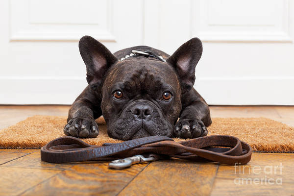 Alert Wall Art - Photograph - French Bulldog Dog Waiting And Begging by Javier Brosch