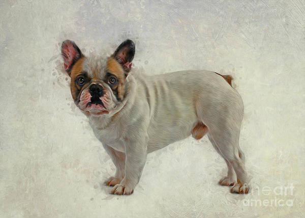 Drawing - French Bulldog by Ian Mitchell
