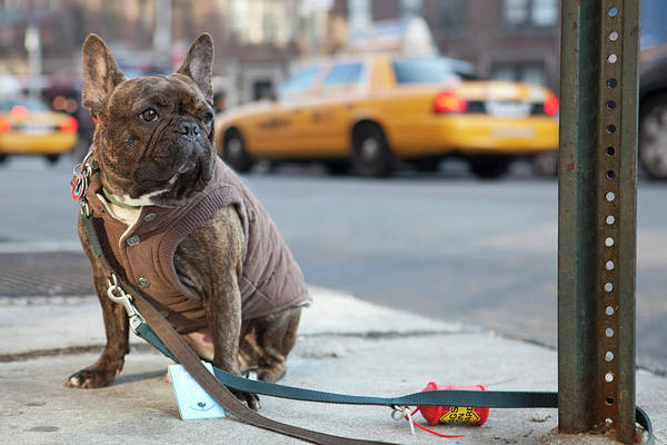 French Bulldog Photograph - French Bulldog In New York by Nick Dolding