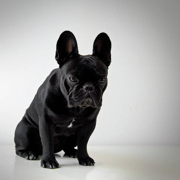 French Bulldog Photograph - French Bulldog by Mascotas Y Varios