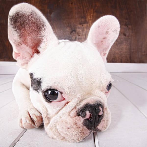 French Bulldog Photograph - French Bulldog Puppy by Maika 777