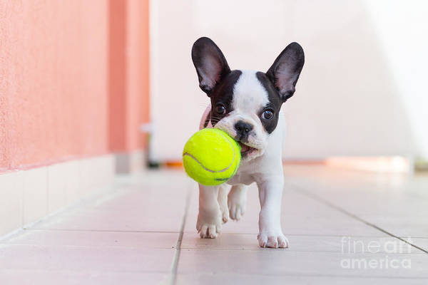 Wall Art - Photograph - French Bulldog Puppy Playing With His by Kwiatek7