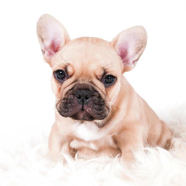 French Bulldog Photograph - French Bulldog by Thor Hakonsen