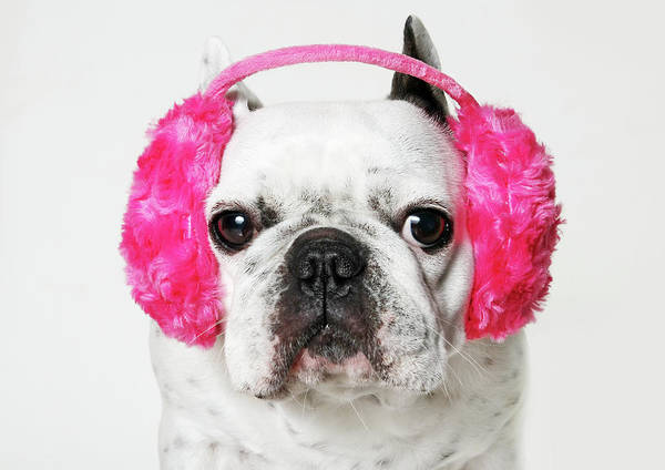 Ear Muffs Photograph - French Bulldog With Ear Roses On White by Retales Botijero