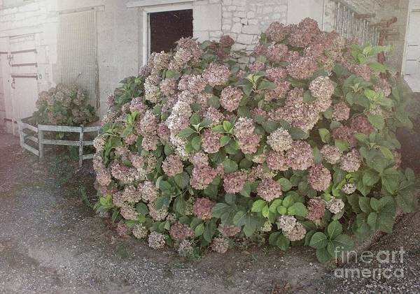 Photograph - French Hydrangea by Luther Fine Art