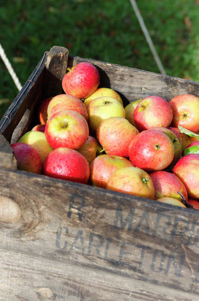 Season Photograph - Fresh Apples In Wooden Box by Liam Bailey