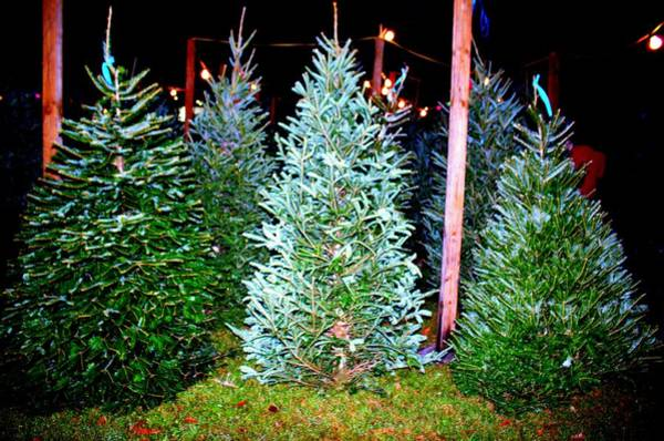 Photograph - Fresh Christmas Trees by Cynthia Guinn