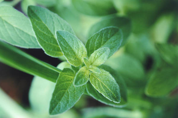 Photograph - Fresh Mint Leaf, Close-up by John Foxx