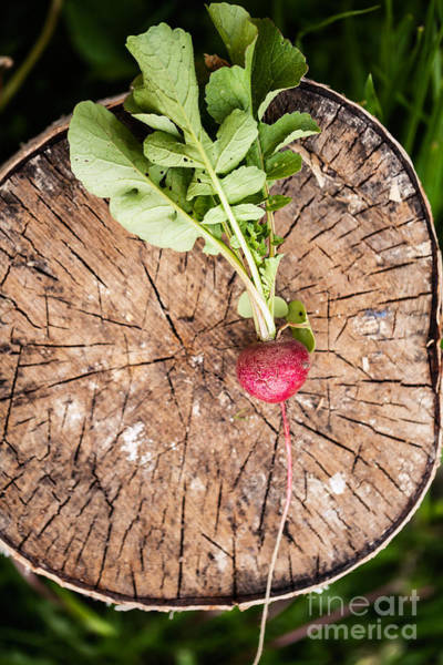 Pile Wall Art - Photograph - Fresh Radish On The Birch Stumb by Naturephotography