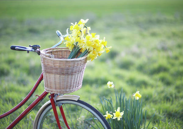 Bicycle Photograph - Freshly Picked Daffodils In A Bicycle by Dougal Waters