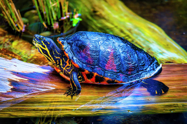 Freshwater Photograph - Freshwater Aquatic Turtle by Garry Gay