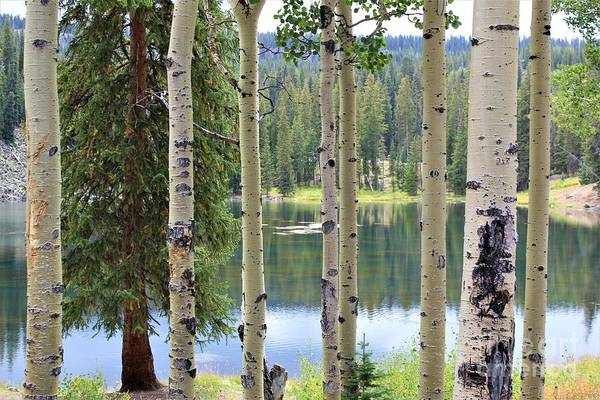 Photograph - Freshwater Lake Through The Aspens by Tammie J Jordan