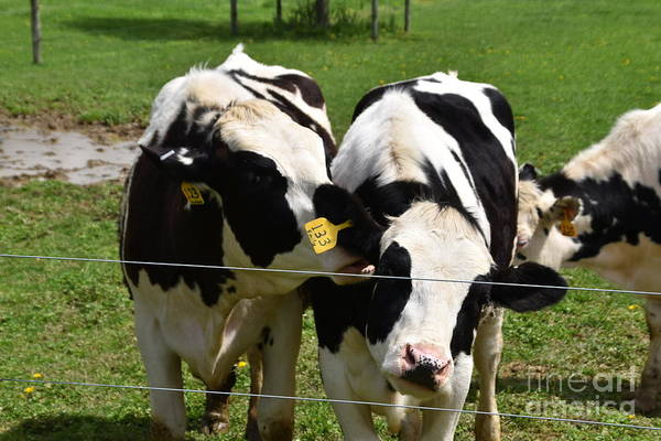 Photograph - Friendly Cows by Christine Clark