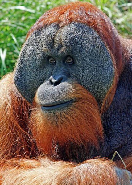 Nfs Photograph - Friendly Orangutan by Daniel Caracappa