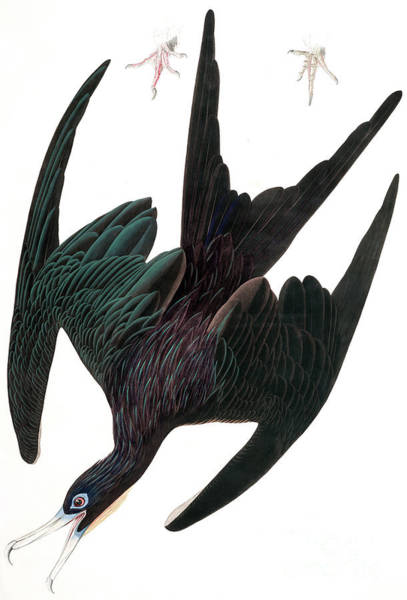 Wall Art - Painting - Frigate Pelican, Tachypetes Aquilis By Audubon by John James Audubon