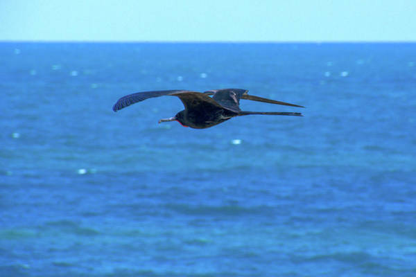 Photograph - Frigatebird by Sun Travels