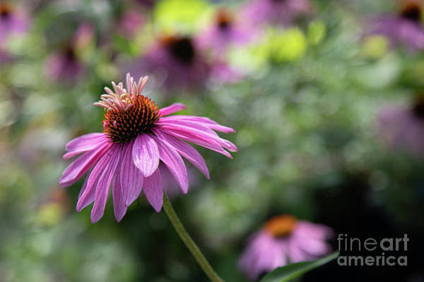 Photograph - Frilly Hat Echinacea by Marilyn Cornwell