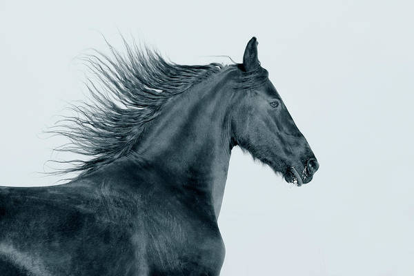Friesian Horse Photograph - Frisian Horse by Photographs By Maria Itina