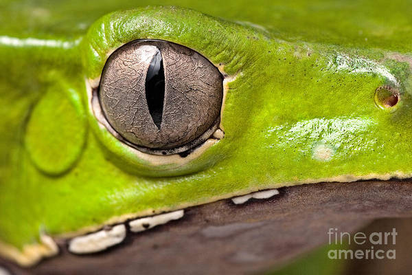 Wall Art - Photograph - Frog Eye Amphibian Vertical Pupil by Dirk Ercken