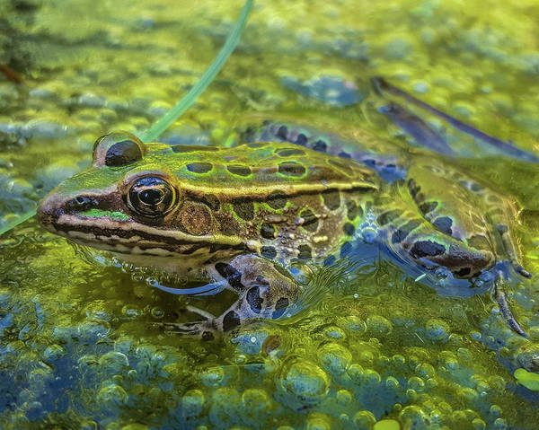 Wall Art - Photograph - Frog In A Bog by Bill Pevlor