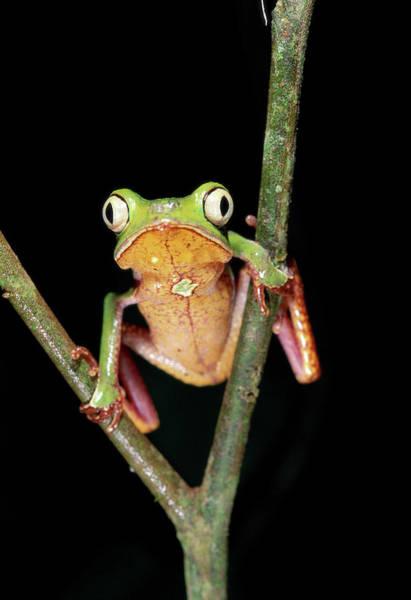 Ugliness Photograph - Frog, Phyllomedusa Vaillanti by Art Wolfe