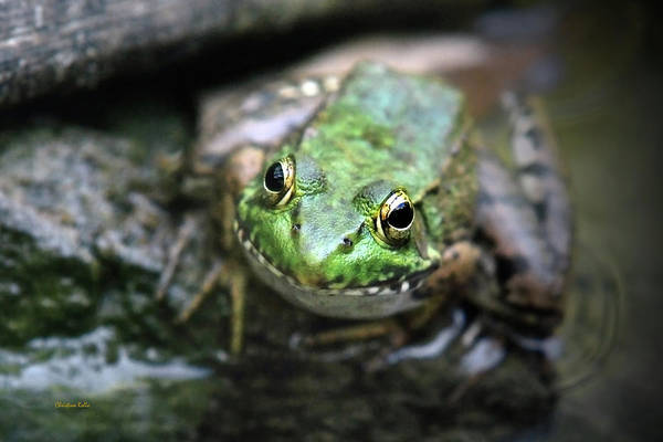 Photograph - Frog Prince by Christina Rollo
