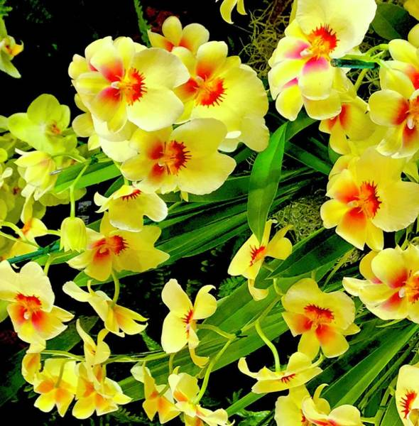 Photograph - Frolicking Orchids In Yellow Aloha  by Joalene Young