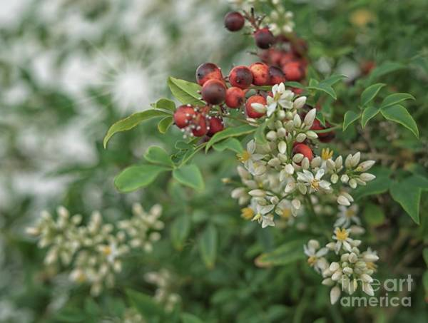 Photograph - From Berries To Blossom by Mary Lou Chmura