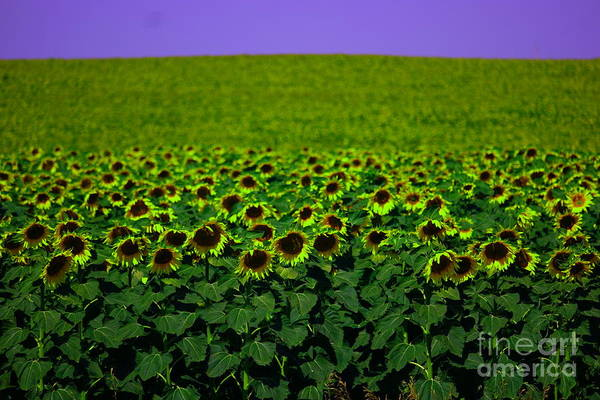 Middle Of Nowhere Photograph - Front Row Sunflower Smiles by Jeff Swan