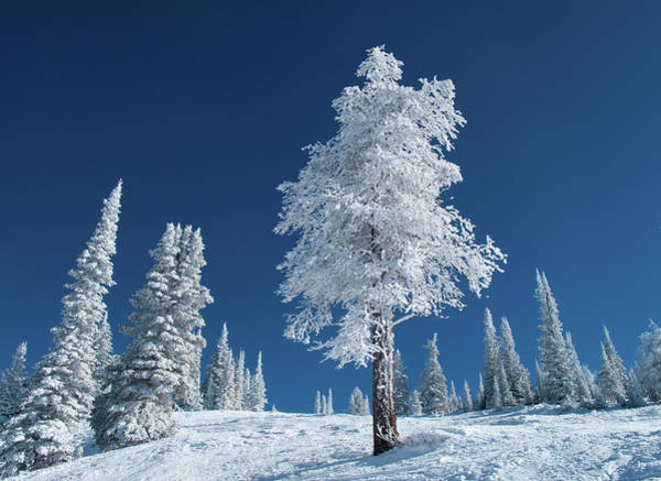 Covering Photograph - Frost And Snow Covered Trees On A Cold by Karen Desjardin