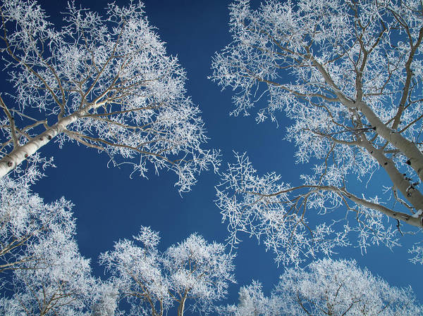 Covering Photograph - Frost-covered Aspen Trees by Karen Desjardin