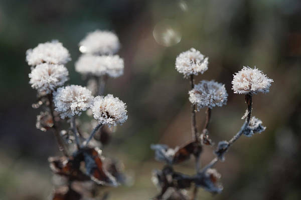 Photograph - Frost In The Garden, England by Latitudestock - Nadia Mackenzie